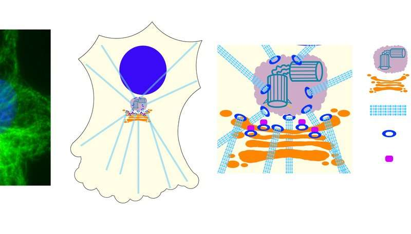 HKUST researchers reveal new insights into the control of cellular scaffold