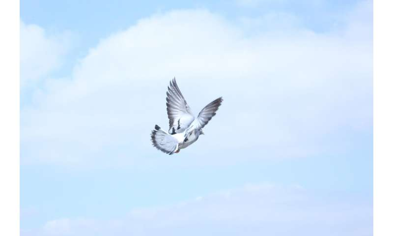 Homing pigeons share our human ability to build knowledge