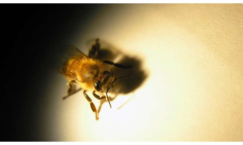 Honey bees have sharper eyesight than we thought