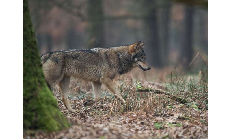 Hounds and wolves share parasites