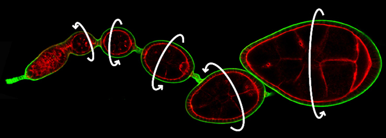 How cells communicate to move together as a group