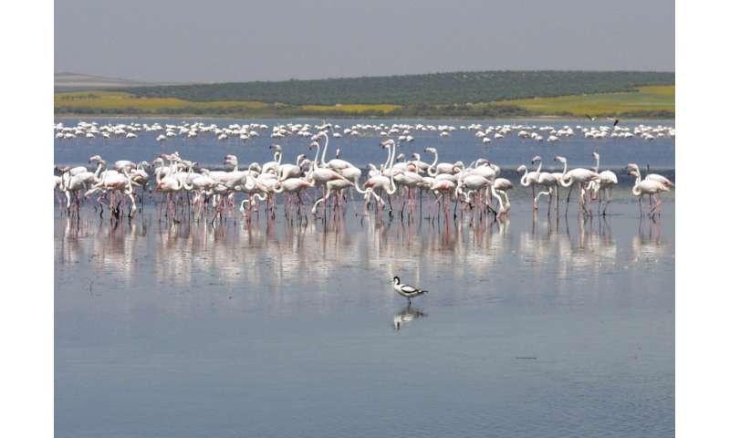 How flamingos influence organic matter filtering in saline wetlands