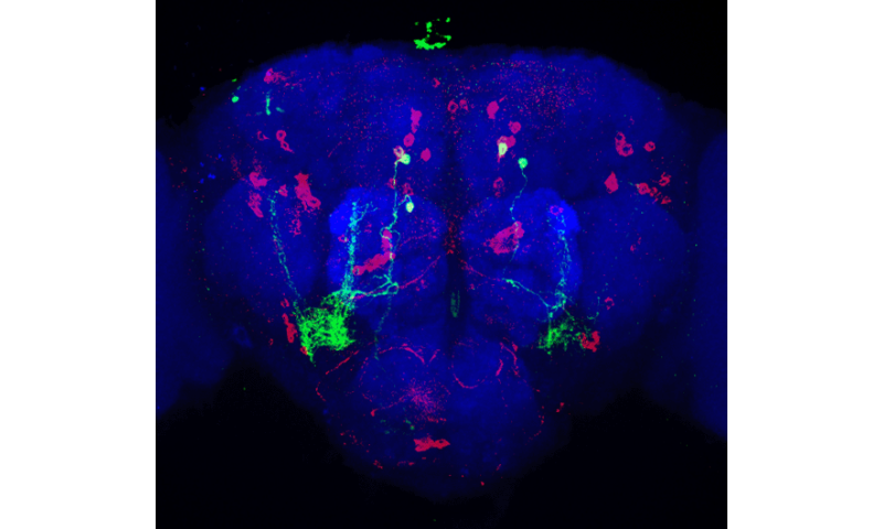 How fruit fly brains control what they choose to eat
