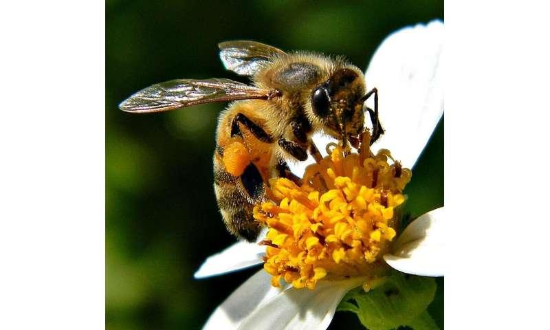 How honey bee gut bacteria help to digest their pollen-rich diet