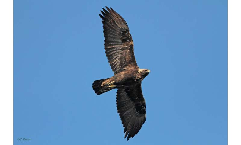 How many golden eagles are there?