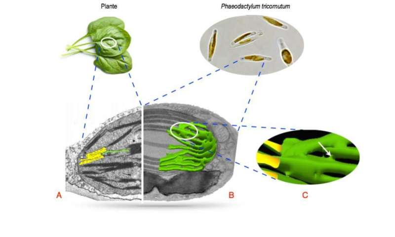 How phytoplankton rule the oceans