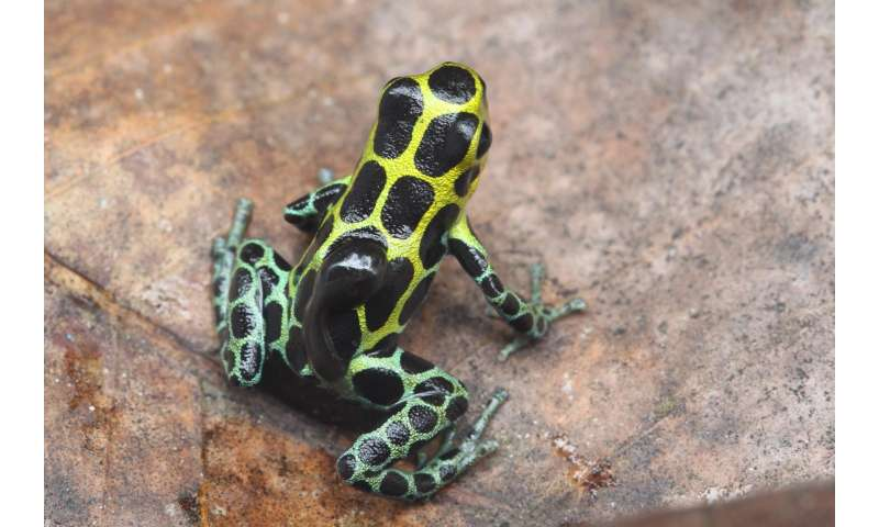 How poison frog tadpoles escape their cannibalistic siblings