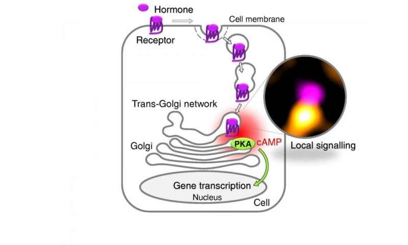 How receptors for medicines work inside cells