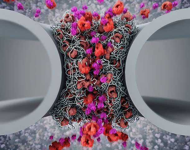 How shuttling proteins operate nuclear pores
