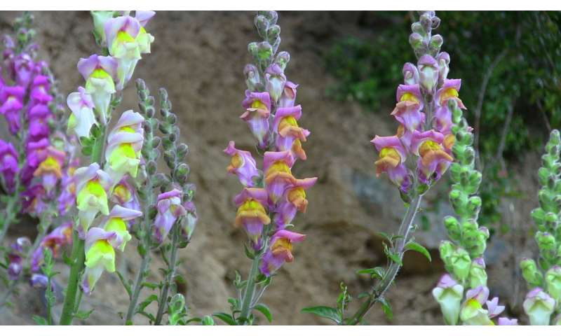 How Snapdragons keep their colour: Signposting trick reveals evolutionary mechanism