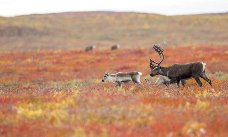 How will climate change affect Arctic caribou and reindeer?