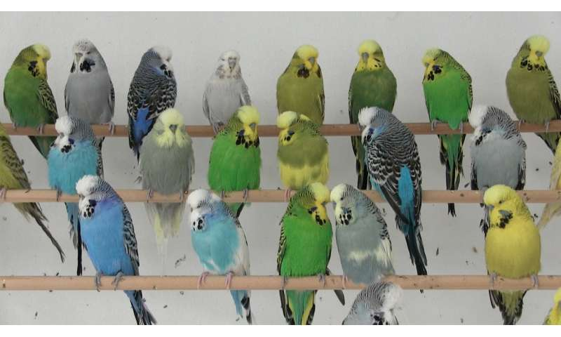How yellow and blue make green in parrots