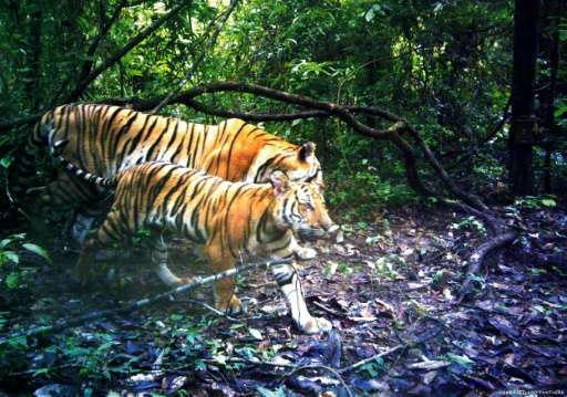 Images of four mothers and six cubs, captured by camera traps in an eastern Thai jungle throughout 2016, confirm the presence of