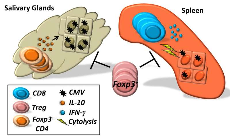 Immune cells promote or prevent cytomegalovirus activity in mice depending on location