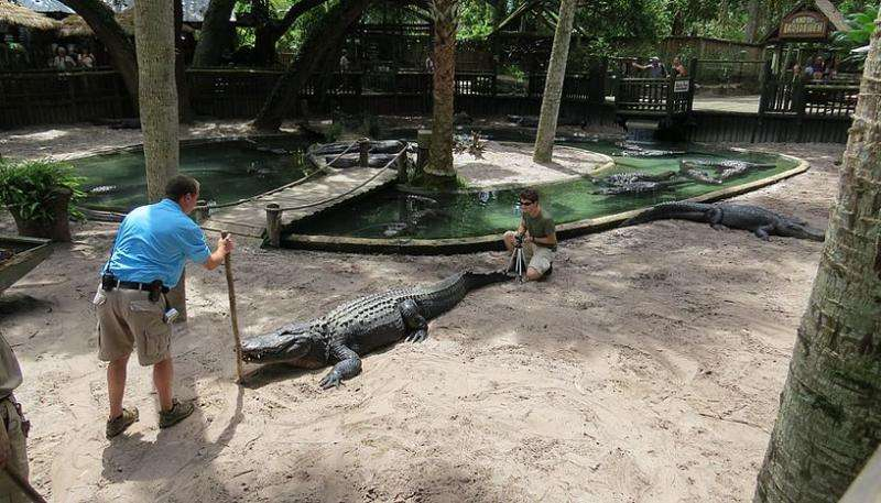 In both love and war, alligators signal size by bellowing