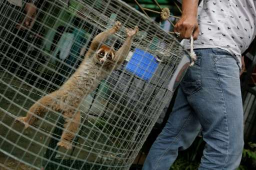 Indonesian authorities have detained an alleged wildlife trafficker and seized nine protected slow lorises, like the one shown b