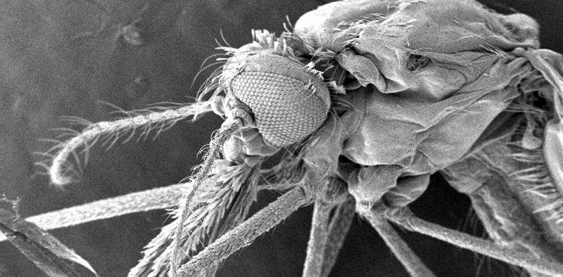 Infecting mosquitoes with bacteria so they can't infect us with viruses like Zika and dengue