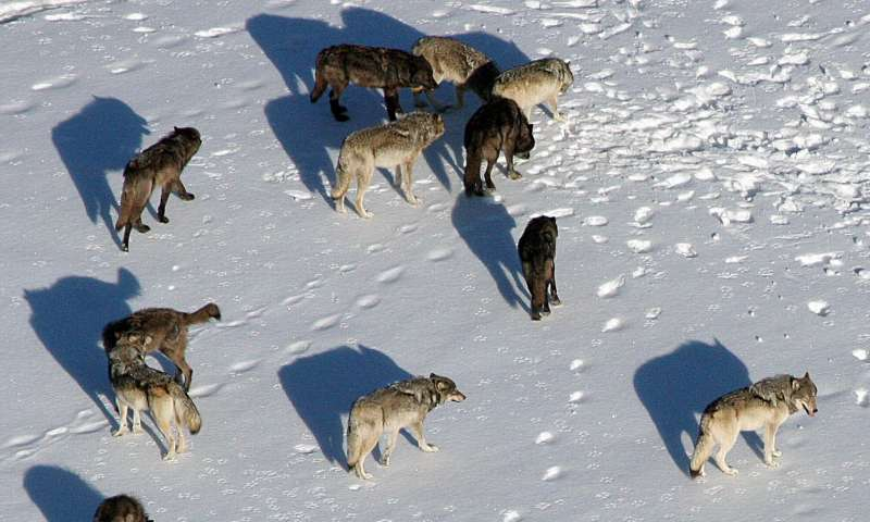 In harm's way: Wolves may not risk 'prey switching' say USU ecologists