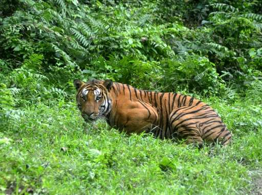 "In India, attempts have been made to hack the GPS collars on endangered Bengal tigers in a case of ""cyber poaching"""