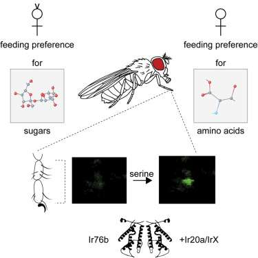 Insects and umami receptors