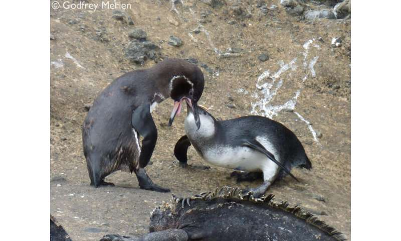 In times of plenty, penguin parents keep feeding their offspring
