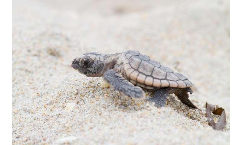 Is it a boy or is it a girl? New method to ID baby sea turtles' sex