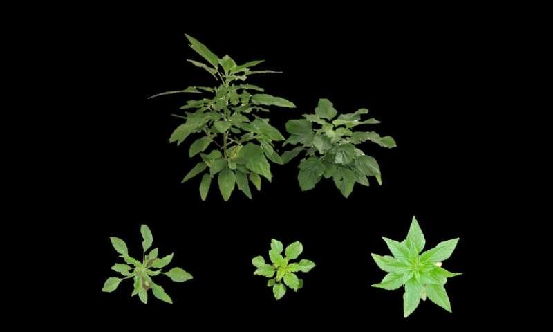 Is Palmer amaranth developing traits that make it harder to control?