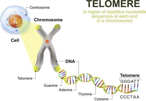 Is there a link between telomere length and cancer?