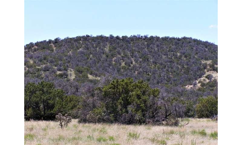 It takes a microclimate to raise a pinyon tree