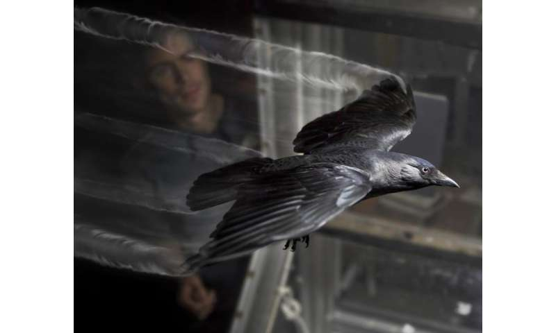 Jackdaws flap their wings to save energy