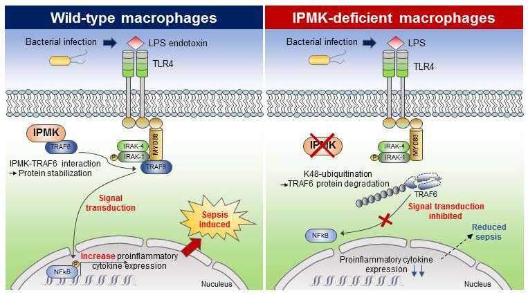 KAIST team identifies the novel molecular signal for triggering septic shock