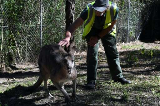 Kangaroos, emus, wombats, snakes and cockatoos are just some of the native creatures being nursed back to health by inmates at a
