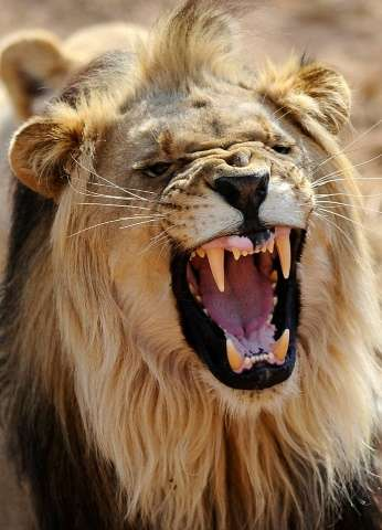 Kruger Park, which borders Zimbabwe and Mozambique, is home to about 1,500 lions, and nearly the size of Belgium. Animals someti