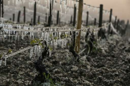 Late spring frosts are set to hit harvests across France, not least at this Chablis vineyard