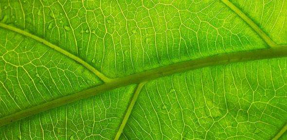 Leaf vein structure could hold key to extending battery life