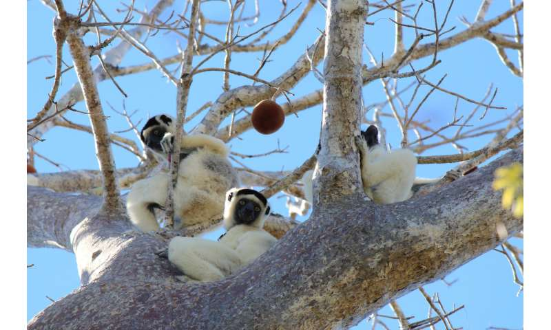 Lemurs' gut microbiomes influenced heavily by social circles, study says