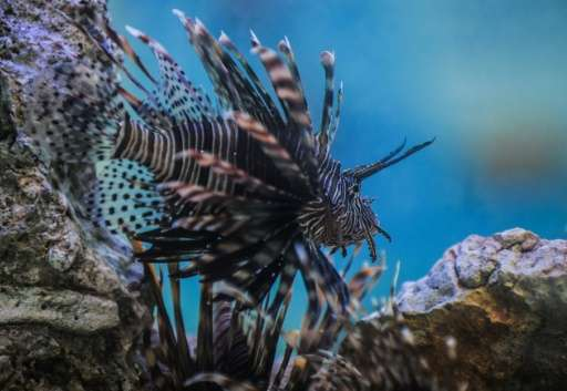 Lionfish are an invasive and predatory species that threatens the balance of the Caribbean Sea