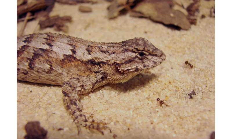 Lizards may be overwhelmed by fire ants and social stress combined