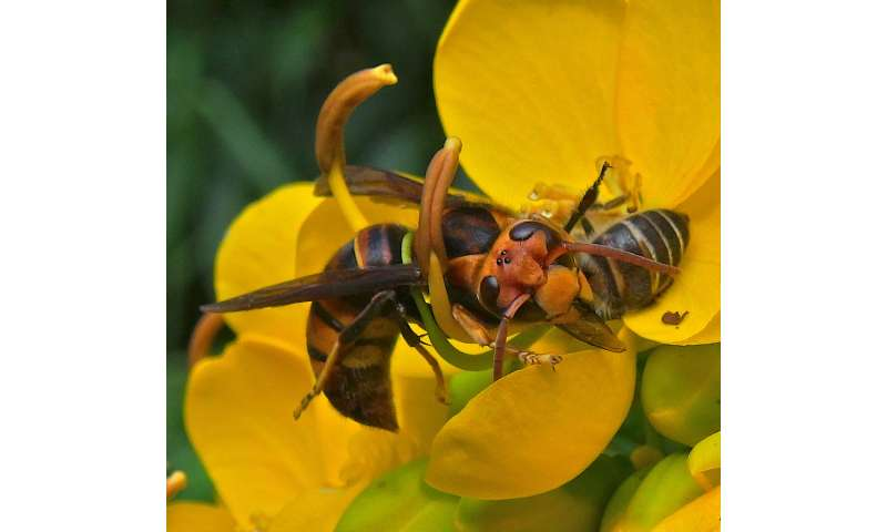 Luring hornets: Scientists unlock sex pheromone of notorious honey bee predator