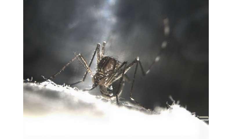 Making mosquitoes self-destruct