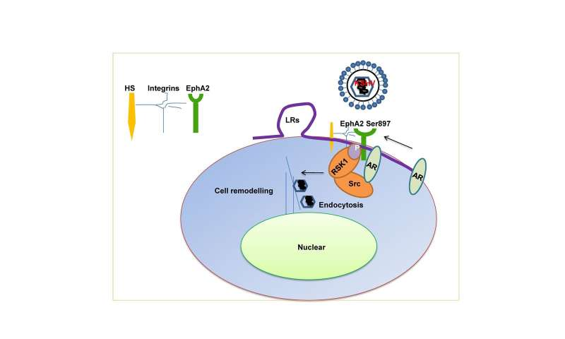 Male hormones may promote infection by virus that causes Kaposi's sarcoma