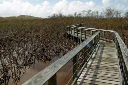 Mangroves damaged when Hurricane Maria ripped through Puerto Rico