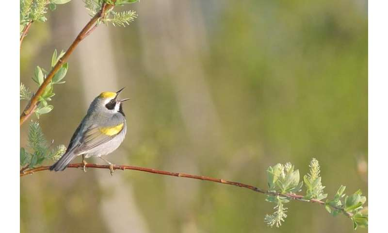 Manitoba's golden-winged warblers: world's last pure population touched by local and distant conservation problems