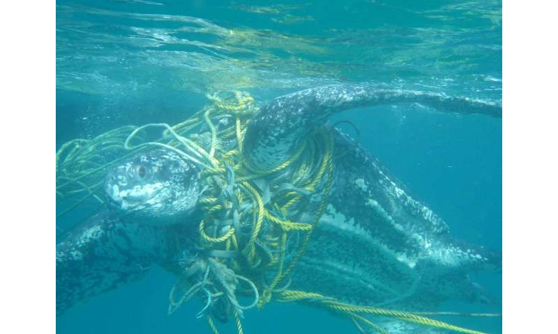 Marine turtles dying after becoming entangled in plastic rubbish