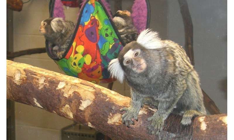 Marmoset babies get a boost from attentive fathers