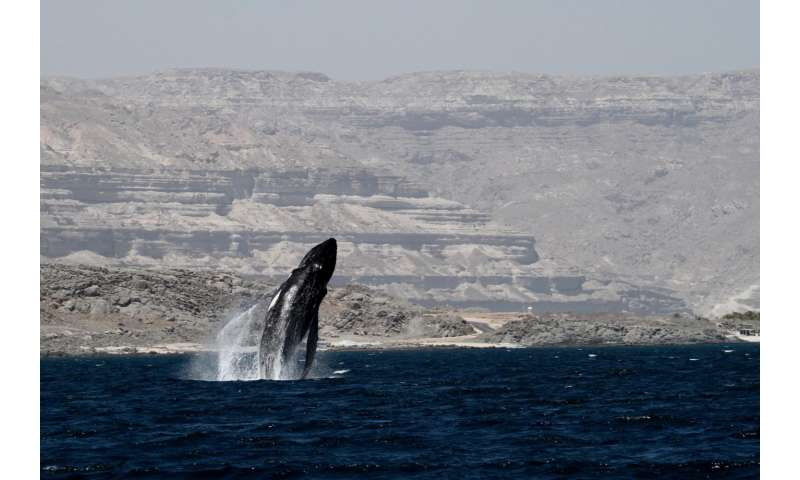 Massive genetic study of humpback whales to inform conservation assessments