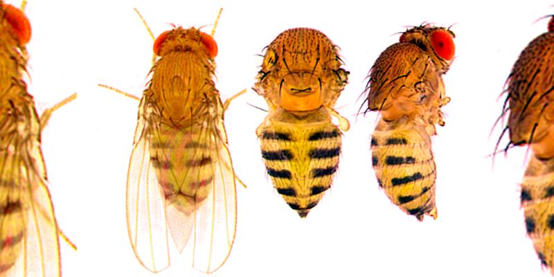 Matching up fruit flies, mushroom toxins and human health