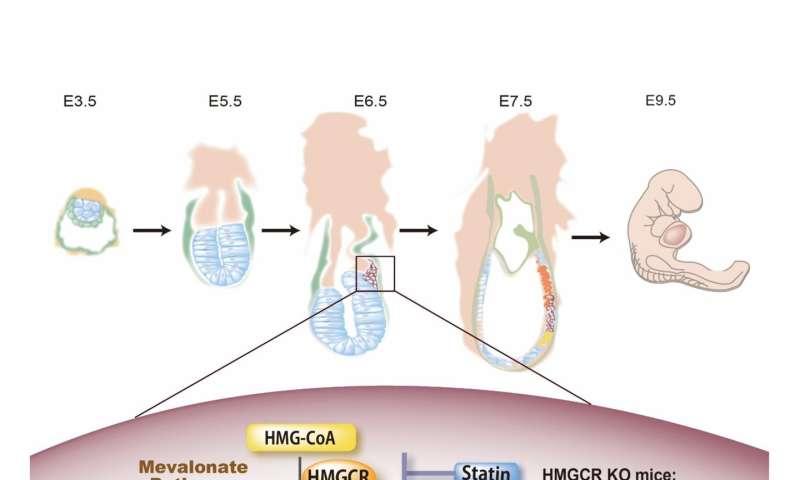 Metabolic pathway regulating key stage of embryo development revealed