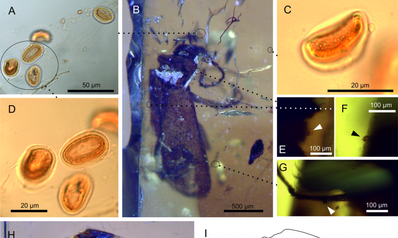 Mid-Mesozoic beetle in amber stirs questions on rise of flowering plants and pollinators