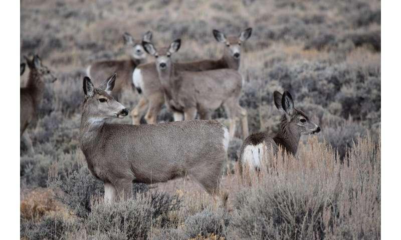 Migrating mule deer track 'green waves' of spring forage
